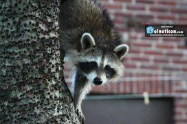 Este mapache se roba un cubo de basura ¡La inteligencia de los animales!