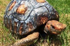 Ella es la primera tortuga con un caparazón impreso en 3D