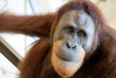 Rocky, el orangután que está dejando atónitos a los expertos al pronunciar las vocales como los humanos