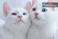 Conoce todo de las gatas gemelas ¡Las mas hermosas del mundo!