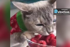 A este gato le encantan las frambuesas