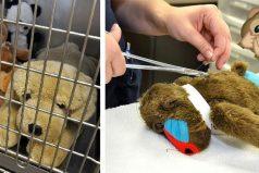 Clínica veterinaria ofrece cirugías gratuitas… ¡A animales de peluche!