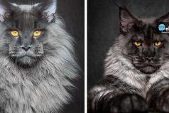 """Este fotógrafo capturó la mítica y majestuosa belleza de los gatos de raza """"Maine Coon"""""""