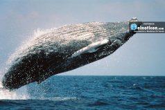 El momento en la que una ballena intenta morder un bote lleno de turistas