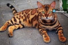 Conoce el gato con pelaje más lindo del mudo ¡Tenemos que cuidar los animales!