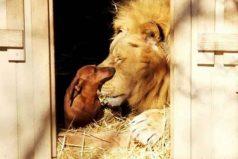La increíble amistad de un perro salchicha y un león.