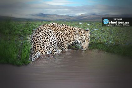 Estos hombres valientes rescataron a un leopardo que se iba a ahogar