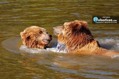 Este oso salvaje toma un baño en una piscina en California