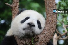 Esta osa panda dio a luz a unos gemelos ¡Increíble!