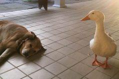 Este pato apareció de la nada para animar a un perrito que tenía el corazón roto
