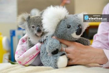 5 cosas que no sabías del Koala se aferra a un peluche luego de quedar huérfano ¡No queremos que esto siga ocurriendo!