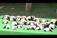 Morirás de ternura con estos bebés panda ¡Parecen peluches!
