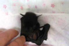Nunca has visto un bebé murciélago más tierno que este ¡Es precioso!