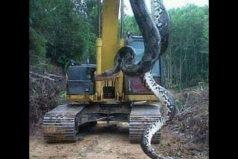 ¡Esta anaconda es enorme! Toda una belleza de la naturaleza