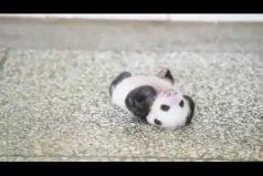 Este panda bebé luchando por levantarse ¡Es una ternurita!