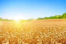 Las curiosidades ocultas del trigo ¡Quedarás con la boca abierta!