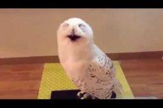 La risa de este búho te alegrará el día ¡Seguro te subirá el ánimo!