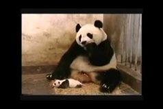 Este bebé panda le dio un buen susto a su mamita. ¡Tiernamente divertido!
