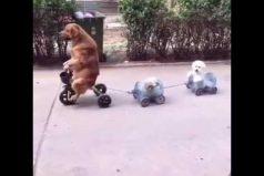 ¡Estos perritos en bicicleta son tan tiernos!