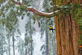 Para poder fotografiar este árbol completo senecesitaron 32días