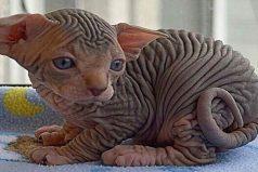 10 Razas de gatos que no creerás que existen ¡Me encantan esos gatitos calvos!