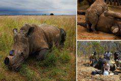 Cortan los cuernos de los rinocerontes como medida drástica para detener la caza furtiva