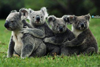 ¿Te parecen lindos los Koalas? 10 Cosas que desconocías de los KOALAS