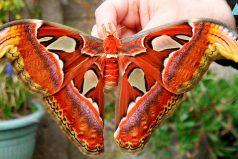Estos insectos son los más grandes que jamás has visto ¡Qué impresión!