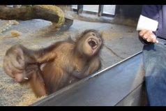 La reacción de este orangután ante un truco de magia es simplemente genial ¡Qué divertido!
