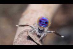 La naturaleza puede ser muy divertida. Conoce a la araña pavo real ¡Impresionante!