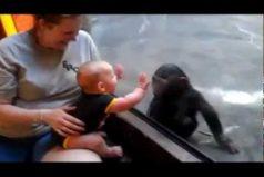 ¡Qué hermoso este chimpancé! Mira como reacciona al ver a un bebé