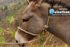 En México ahora roban burros y piden rescate para liberarlos ¡insólito!