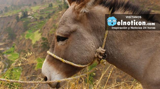 En México ahora roban burros y piden rescate para liberarlos