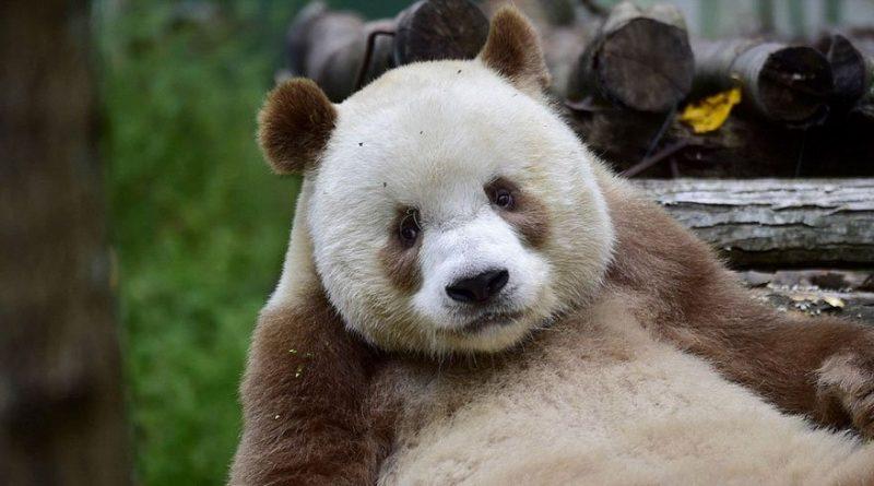 El único panda marrón del mundo busca novia