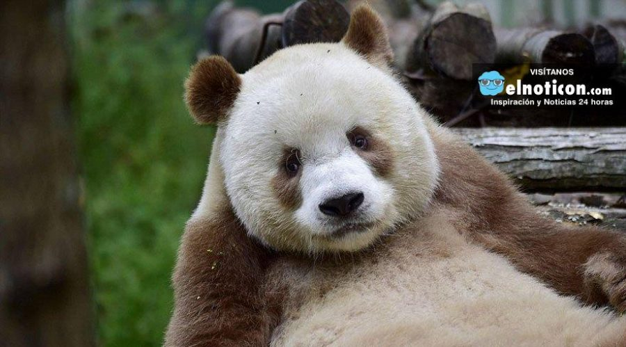 El único oso panda marrón del mundo busca novia