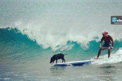 Este cerdito un día cayó al agua. Ahora es el cerdo surfista más famoso del mundo