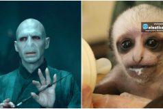 'Voldemonkey' la tierna monita que se parece Lord Voldemort