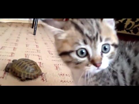 Epic-Battle-Kitten-vs.-Turtle