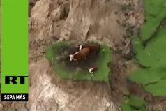 ¡Sorprendente! Tres vacas sobrevivieron al devastador terremoto en Nueva Zelanda. Ver para creer