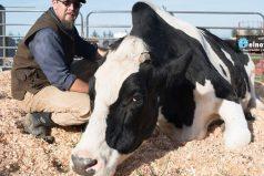 Conoce a Danniel, el toro más grande del mundo que bebe 100 litros de agua al día