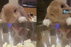 Este conejito acaba de descubrir el maravilloso placer de comer palomitas de maíz y no puede parar