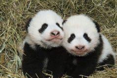 Estos pandas gemelos fueron bautizados en una ceremonia y sus nombres son tan adorables como ellos