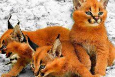 Los 5 gatos más raros del mundo, ¡son razas divinas!