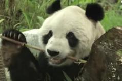 Murió panda más viejo del mundo, ¡triste noticia!