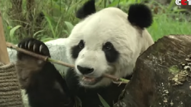 533362-pan-pan-giant-panda-youtube-screen-grab