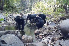 ¡Qué 'pilos'! Estos chimpancés fueron grabados mientras 'pescaban'. Te sorprenderá la manera como consiguen su comida