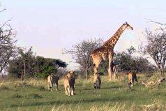 Te conmoverá el valor de esta jirafa al defender a su cría. ¡Querrás salir corriendo a abrazar a tu mamá!