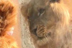 La tierna reacción de un león al ver a un niño disfrazado como él