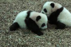 Mira los primeros pasos de estas adorables crías de panda