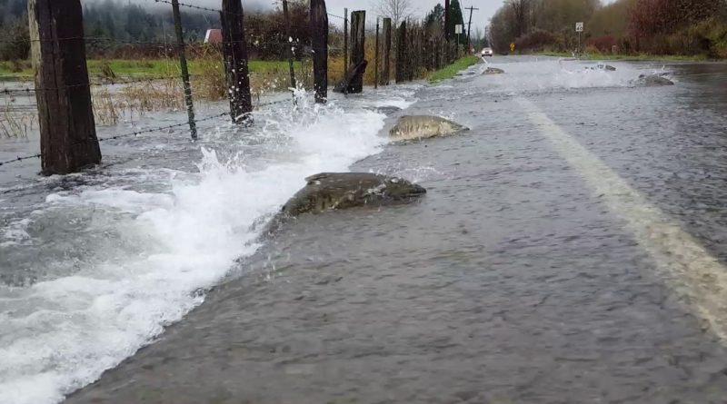 Salmon-return-across-flooded-road-in-Washington-USA